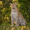 Wild Leopard Portrait Royalty Free Stock Photo