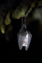 Wild lesser horseshoe bat hanging upside down Stock Photos