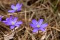 Wild lilac flowers underbrush in springtime
