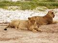 Wild lioness Stock Photos