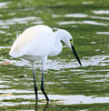 Wild little egret bird feeding in water pool use for animals and wildlife nature habitat Royalty Free Stock Photo