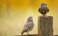 Wild little owls a owlet begging its parent to feed him Royalty Free Stock Photo