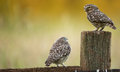 Wild little owls a owlet begging its parent to feed him Stock Photos