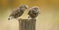 Wild little owls a owlet being fed a worm by its parent Royalty Free Stock Photography