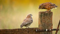 Wild little owls a owlet wanting to be fed a worm by its parent Royalty Free Stock Photos