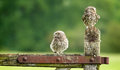 Wild little owls two looking about while sitting on an old farmyard gate Royalty Free Stock Photos