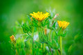 Wild little yellow flowers in a meadow Royalty Free Stock Photos