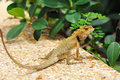 Wild lizard Royalty Free Stock Image