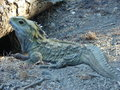 Wild lizard a in the oceanic island of new zealand Royalty Free Stock Photo