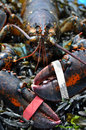 Wild Lobster Stock Images