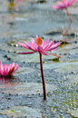 Wild lotus flower under rain a pure beauty water the Stock Images