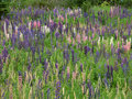 Wild Lupine Background Stock Photo