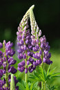 Wild Lupines Royalty Free Stock Photo