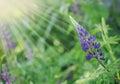 Wild Lupines Royalty Free Stock Photo