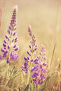 Wild Lupins Royalty Free Stock Photography