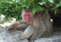 Wild Macaque Monkey Stock Images