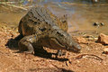 Wild Madagascar crocodile Royalty Free Stock Photography