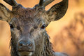 Wild male deer close up. Rutting season wet from wallowing. Royalty Free Stock Photo
