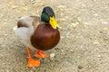 Wild male duck one mallard Royalty Free Stock Photo