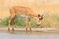 Wild male Saiga antelope near watering in steppe
