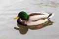 Wild mallard duck anas platyrhynchos swimming on a lake canadian in its natural habitat Royalty Free Stock Photo