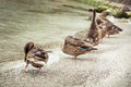 Wild mallard ducks on the lake shore, beauty in nature Royalty Free Stock Photo