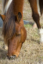 Wild mare browsing grass on Assateague Island, Maryland. Royalty Free Stock Photo