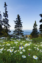 Wild marguerites in acadia national park marine landscape loop road maine Royalty Free Stock Photo