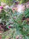 WILD MILK THISTLE PLANT, ECUADOR Royalty Free Stock Photo