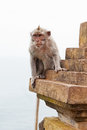 Wild monkey Stock Image