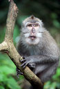Wild monkey Stock Photo