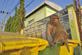 Wild monkey looking for food in a garbage can thailand Royalty Free Stock Images