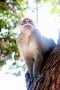 Wild Monkey Portrait Royalty Free Stock Photo