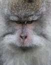 Wild monkey portrait at forest Royalty Free Stock Images