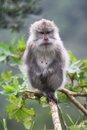 Wild monkey standing on a limb at forest Stock Images