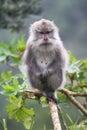 Wild monkey standing on a limb Royalty Free Stock Photo