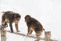 Wild monkeys in the winter