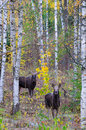 Wild moose in autumn forest vertical view for swedish october Stock Photo