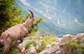 Wild mountain goat Capra ibex Royalty Free Stock Photos