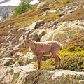 Wild mountain goat - Capra ibex Stock Photography