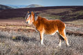 Wild Mountain Pony in Shropshire Hills, England Royalty Free Stock Photo