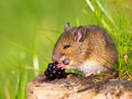 Wild mouse eating blackberry Stock Image