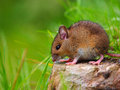 Wild mouse sitting on log in a garden Royalty Free Stock Photo