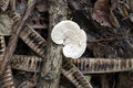 Wild mushroom that grows on wood of dead trees Stock Images