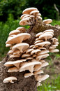 Wild mushrooms Royalty Free Stock Photo