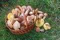 Wild mushrooms basket green grass Royalty Free Stock Photo