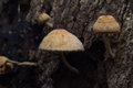Wild mushrooms growing on dead trees topple the deducted decay Royalty Free Stock Photography