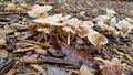 Wild mushrooms popping up in mulch after rainy days Stock Photography