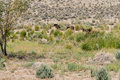 Wild mustangs in the nevada desert find a patch of tall grasses Royalty Free Stock Images