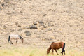Wild mustangs in the nevada desert horses graze Stock Photo